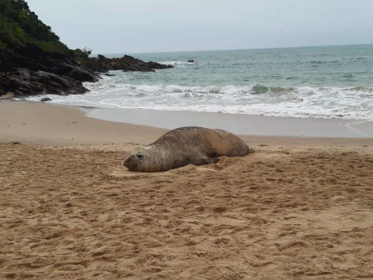 Elefante-marinho é encontrado na Praia do Buraco